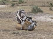 Clip: Sư tử nhọc nhằn hạ sát ngựa vằn