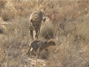 Clip: Mải săn mồi, mèo hoang bị báo đoạt mạng trong chớp mắt