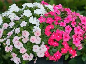 Hướng dẫn trồng hoa dừa cạn trang trí ban công, hàng quán