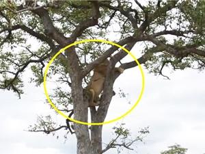 Clip: Thua đàn linh cẩu, sư tử phải leo cây lánh nạn