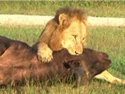 Clip: 5 pha sát hại trâu rừng trong nháy mắt của sư tử