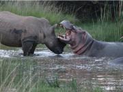 Clip: Cuộc ác đấu kinh điển giữa tê giác và hà mã