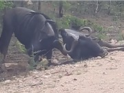 Clip: Linh dương đầu bò tấn công đồng loại vô cùng dã man