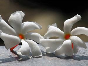 Dạ hoa - loài hoa đẹp mỏng manh tựa sương sớm