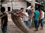 Trăn dài 7 mét chết thảm khi định giết người