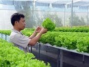 Thu 3,5-4,5 triệu/ngày nhờ trồng xà lách theo phương pháp thủy canh