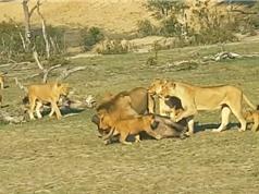 Clip: Đàn sư tử cùng nhau cắn xé trâu rừng con