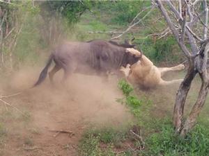 Clip: Dùng trí thông minh, linh dương đầu bò thoát chết thần kỳ