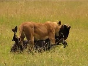 Clip: Linh dương đầu bò bỏ mạng vì thói ngủ ngày