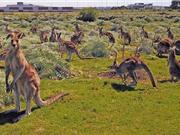 Nỗ lực ngăn cản chương trình diệt trừ kangaroo ở Australia
