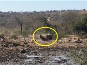 Clip: Mải mê uống nước, linh dương Waterbuck bị sư tử hạ sát