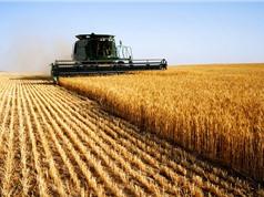 Top 10 quốc gia sản xuất lúa mì lớn nhất thế giới