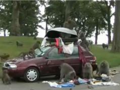 Clip: Bầy khỉ biến ôtô thành khu giải trí công cộng