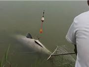 Clip: Tóm gọn cá trắm đen nặng 28kg tại Ninh Bình