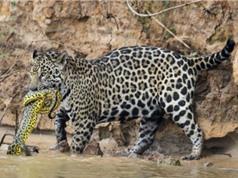 Báo đốm đoạt mạng trăn anaconda trong rừng già Brazil