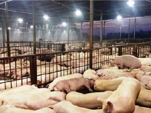 Giải pháp chấm dứt tình trạng tiêm thuốc an thần vào lợn