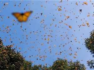 Chuyên gia bối rối với bầy bướm dài 112km