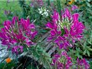 Loài hoa bản địa của Nam Mỹ đẹp tựa pháo hoa nở rộ