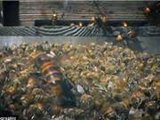 Clip: 30 ong bắp cày giết 3 vạn ong mật, phá tổ ăn thịt con non