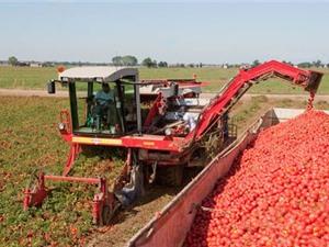 """Clip: """"Sướng mắt"""" xem máy thu hoạch hàng tấn cà chua"""