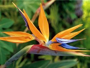 Học cách trồng và chăm sóc hoa thiên điểu xanh tốt quanh năm