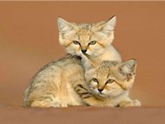 Ngắm nét đáng yêu của loài mèo sống ở sa mạc