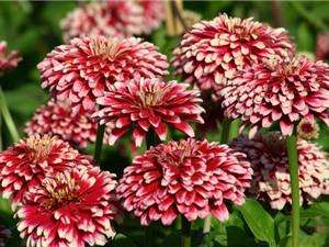 Hướng dẫn cách trồng và chăm bón hoa cúc ngũ sắc