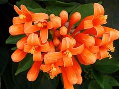Ngắm nhìn vẻ đẹp rực rõ của hoa chùm ớt