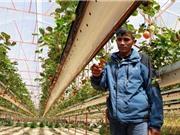 Ngạc nhiên với cách kiếm tiền tỷ từ trồng dâu tây kỹ thuật mới hiếm chưa từng thấy