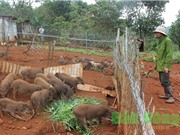 """Trang trại nuôi heo rừng lai theo hướng """"đặc sản"""" ở Đắk Nông"""