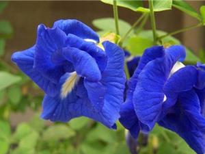 """Tự trồng hoa đậu biếc vừa làm cảnh lại trị """"bách bệnh"""" tại nhà"""