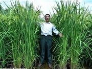 Gieo trồng thành công lúa khổng lồ, cao 2,2 mét