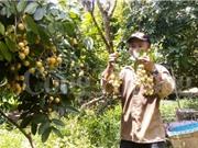 Nông dân đồng bằng sông Cửu Long phấn khởi vì giá nhãn tăng