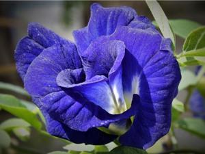 Chiêm ngưỡng loài hoa biểu tượng cho niềm vui bất tận