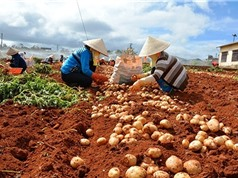 Giải pháp nâng cao giá trị khoai tây Đà Lạt