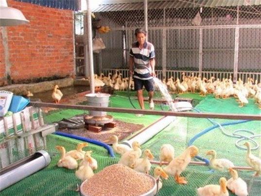 Mô hình nuôi vịt trên sàn lưới vô cùng mới mẻ