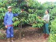 Nông dân Gia Lai vui mừng vì cà phê được mùa, được giá