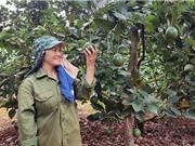 Nông dân Gia Lai làm giàu từ trồng bơ booth trái vụ