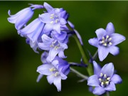 Ấn tượng với vẻ đẹp rực rỡ của hoa chuông xanh