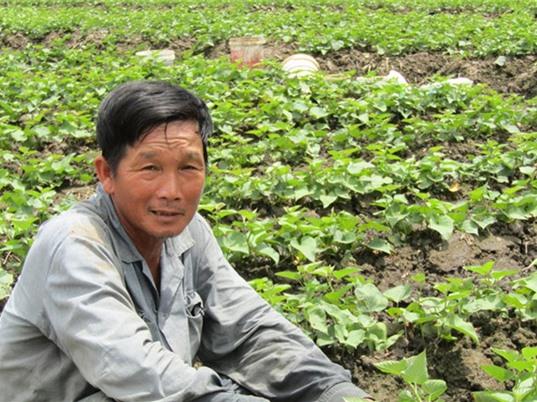 Trồng khoai lang tím Nhật ở Vĩnh Long, thu lời hơn 1 tỉ đồng/năm