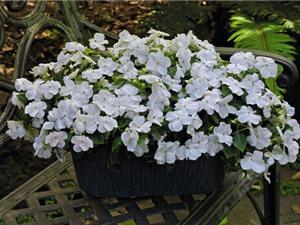 Mai địa thảo - loài hoa đẹp khiến người yêu hoa đắm say