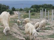Thịt cừu tăng giá, nông dân Ninh Thuận trúng lớn