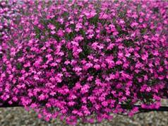 Ngắm màu sắc sặc sỡ của loài hoa đến từ Nam châu Phi