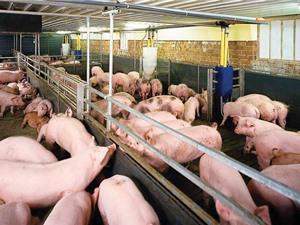 Người chăn nuôi ở Long An đang gặp khó