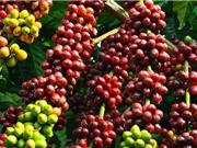 Sản lượng cà phê Việt Nam có thể đạt kỷ lục trong niên vụ 2017-2018