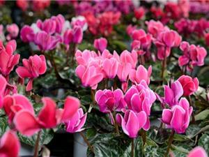"""Tiên khách lai - """"vua của các loài hoa trồng trong chậu"""""""