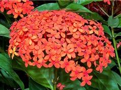 Kỹ thuật trồng và chăm sóc mẫu đơn ta cho hoa nở quanh năm