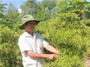 Cải tạo đất sỏi đá trồng đinh lăng lãi 150 triệu đồng sau 3 đợt thu hoạch