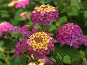 Ngũ sắc - loài hoa đẹp dùng để trị bách bệnh
