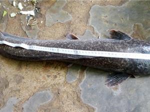 Bắt được cá trê dài gần 1 mét ở Bạc Liêu